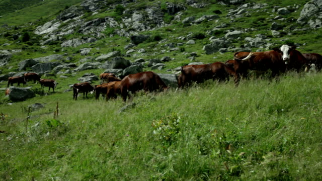 ruitor cows - brouter stock videos & royalty-free footage