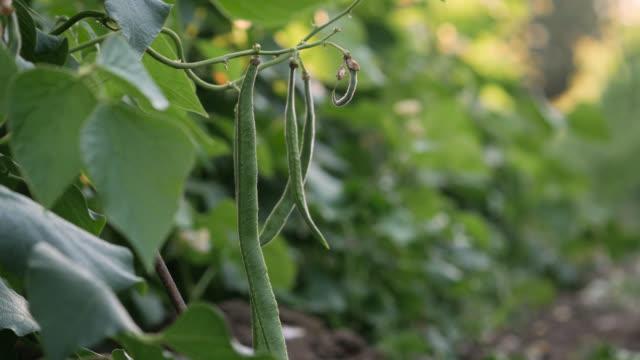 runner bean crop on farm, uk - organic stock videos & royalty-free footage