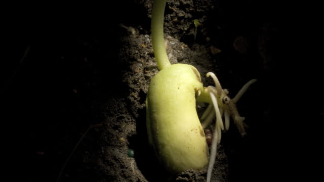 t/l runner bean (phaseolus coccineus) germinating underground, roots growing - bean stock videos & royalty-free footage