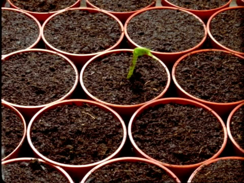 T/L Runner Bean Seedlings - germinate from individual pots