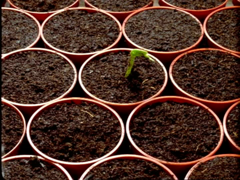 t/l runner bean seedlings - green seedlings sprout from individual pots - bean stock videos & royalty-free footage