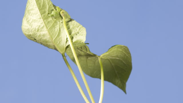 t/l runner bean (phaseolus coccineus) stalk and leaves growing, blue background, side view - bean stock videos & royalty-free footage