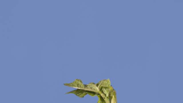 t/l runner bean (phaseolus coccineus) stalk and leaves growing, blue background (2 shots) - runner bean stock videos & royalty-free footage