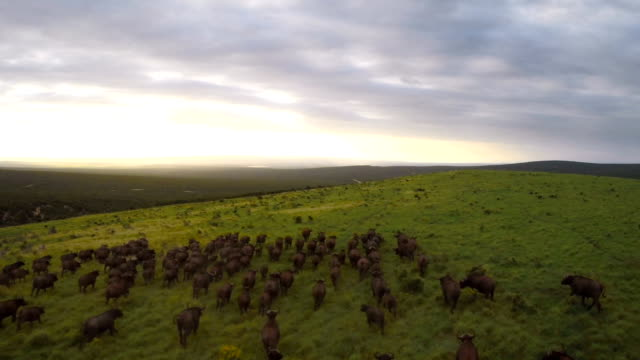 running across the plain at dusk - herd stock videos & royalty-free footage