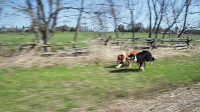 vídeos y material grabado en eventos de stock de collies de frontera de corrientes - perro cazador