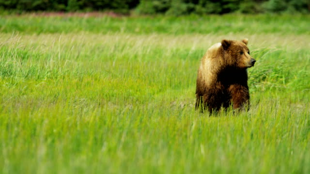 running brown bear with cubs wilderness area yosemite - grizzlybär stock-videos und b-roll-filmmaterial