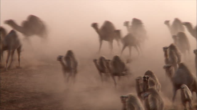 running camels 02 - saudi arabia stock videos & royalty-free footage