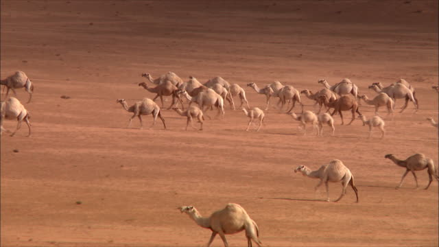running camels - camel stock videos & royalty-free footage