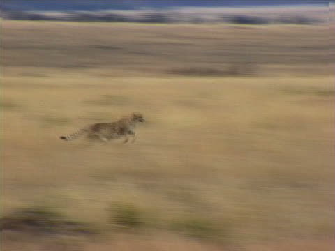 running cheetah - cheetah stock videos and b-roll footage