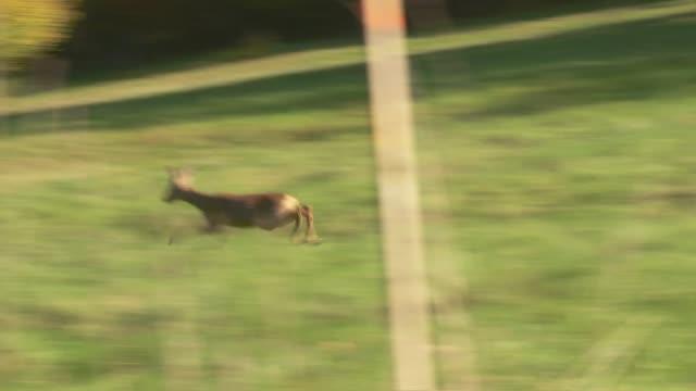 running deer - deer stock videos & royalty-free footage