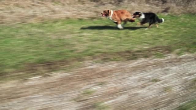 vídeos y material grabado en eventos de stock de perros corriendo - perro cazador