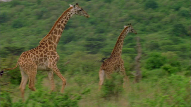 running giraffes through clearing in serengeti national park, tanzania available in hd. - giraffe stock videos and b-roll footage