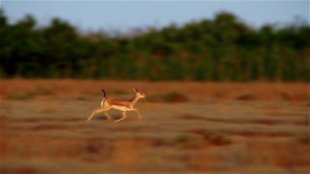 running goitered gazelle - jumping stock videos & royalty-free footage