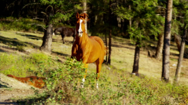 running horses in roundup cowboy dude ranch canada - galopp gangart von tieren stock-videos und b-roll-filmmaterial