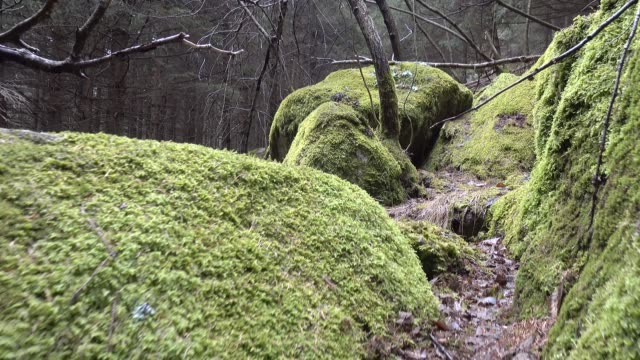 Running in the forest of pine in between stones covered of moss