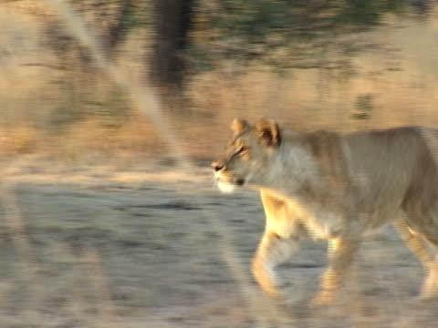 vidéos et rushes de running lionne - lion