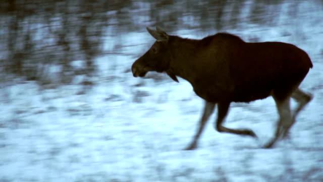 running moose (eurasian elk) - elk stock videos & royalty-free footage