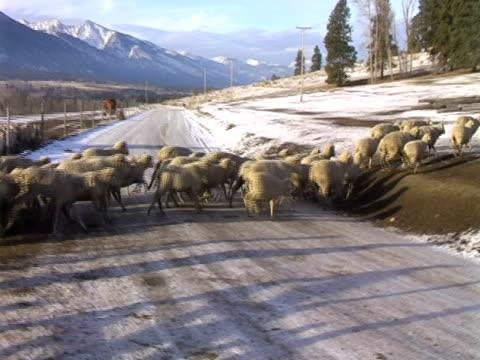 running sheep - flock of sheep stock videos & royalty-free footage