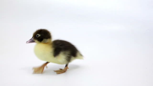 Running squeaking Ducklings on white background