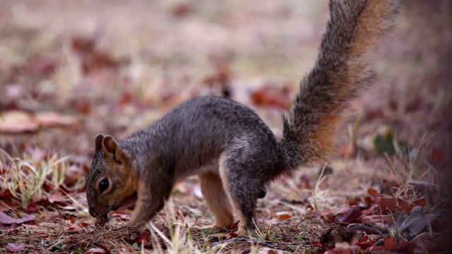 running squirrel - squirrel stock videos and b-roll footage