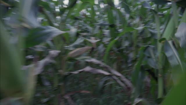 running through a field of cornstalks. - loss stock videos & royalty-free footage