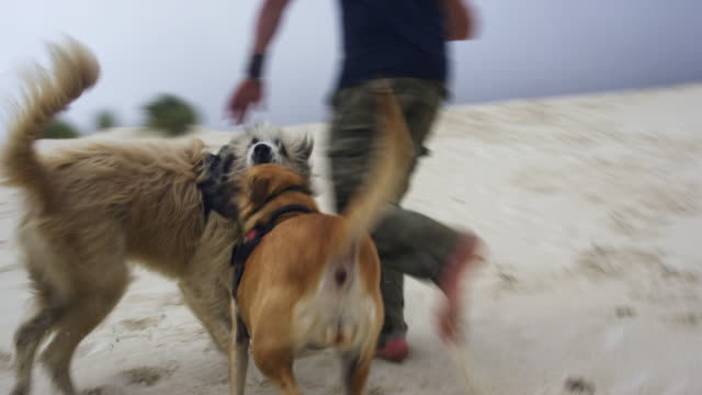 running with dogs on sand dune - piccolo gruppo di animali video stock e b–roll