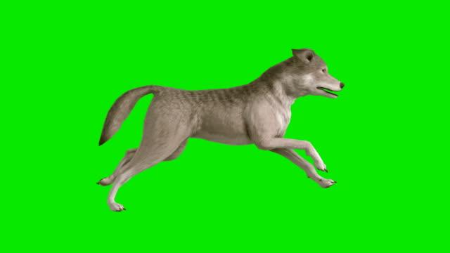 vídeos de stock, filmes e b-roll de lobo de corrida verde tela (circulares - fundo verde