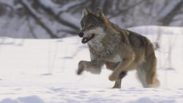 running wolf - europe stock videos & royalty-free footage