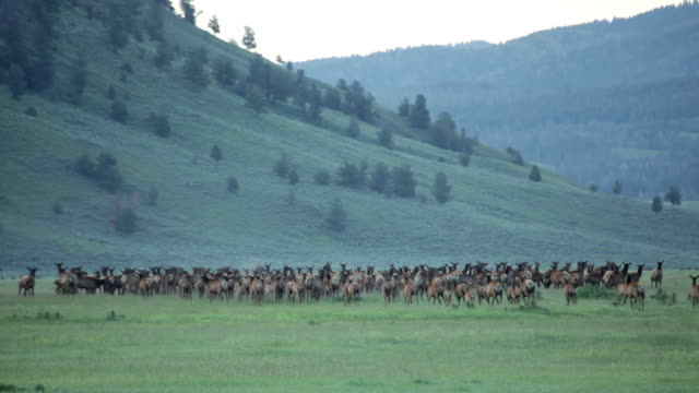 Running wolves hunt elk herd Grand Teton National Park Wyoming