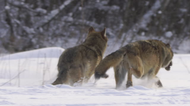 running wolves - animals hunting stock videos & royalty-free footage