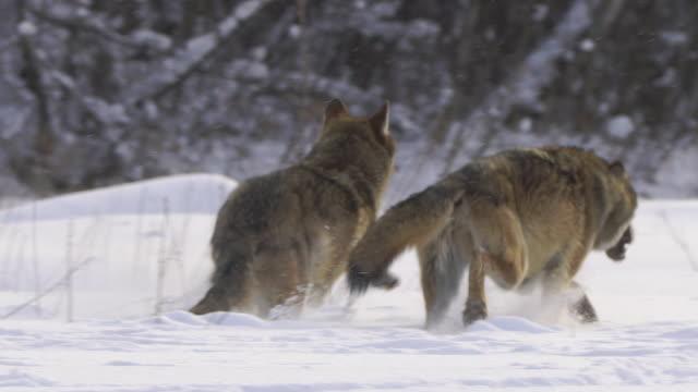 stockvideo's en b-roll-footage met lopende wolven - roof