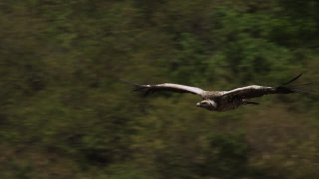 ruppell's griffon vulture (gyps rueppelli) soars over river, kenya - vulture stock videos & royalty-free footage