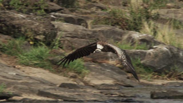 Ruppell's griffon vulture (Gyps rueppelli) soars over river, Kenya