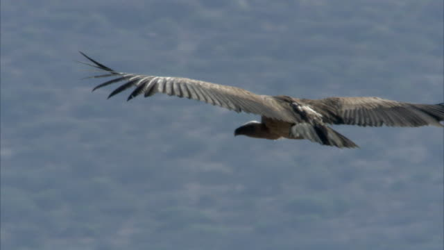 Ruppell's griffon vulture (Gyps rueppellii) soars over rocky valley, Kenya