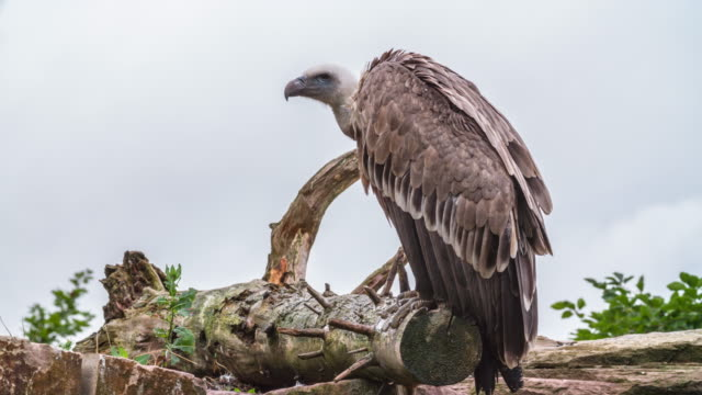 Ruppell's Griffon (Gyps rueppellii) Vulture