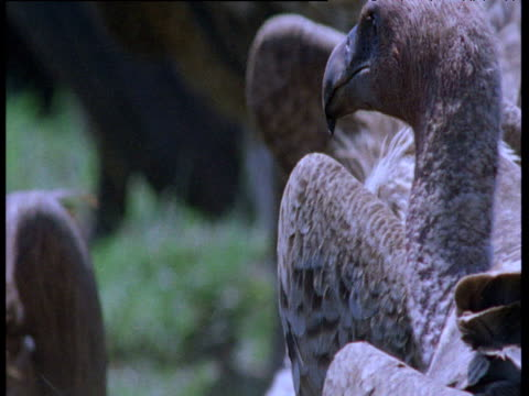 ruppell's griffon vultures gather on carcass - apparato digerente animale video stock e b–roll