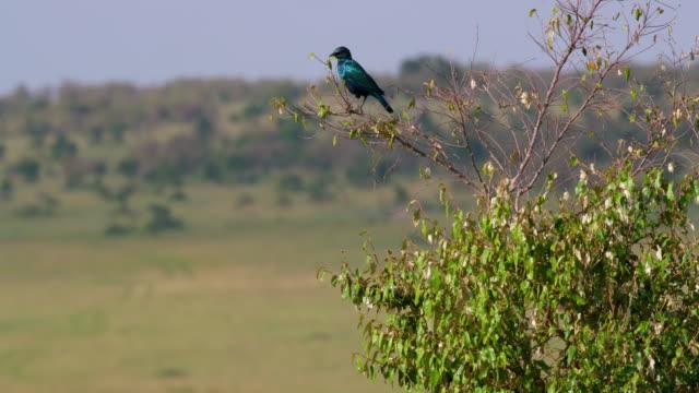 Ruppell's Long-Tailed Starling, Maasai Mara, Kenya, Africa