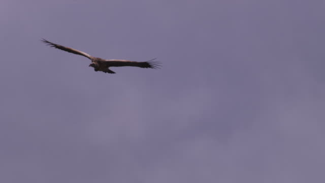 la ms ruppells vulture glides to camera and turns - hovering stock videos and b-roll footage