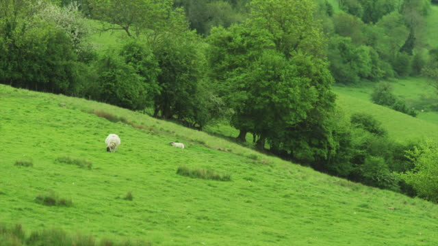 ws ha rural landscape with sheep grazing / somerset, uk - grazing stock videos & royalty-free footage