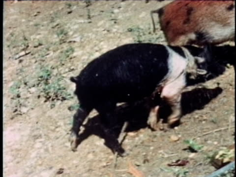 1968 MONTAGE Rural scene with pig being grilled, Puerto Rico, USA, AUDIO