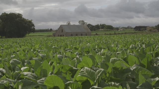 Rural tobacco farms near Havana on January 27th 2015 Shots Exterior wide shot of the front of a farm house along a dirt road Wide shot of a tobacco...
