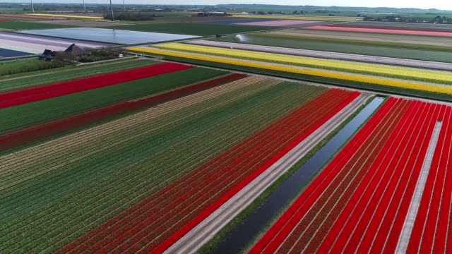 rural views of tulip fields seen from above, netherlands - tulpe stock-videos und b-roll-filmmaterial