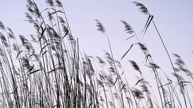 rushes (carex buchanani) moving because of the wind  at sunset - 一分鐘或更長 個影片檔及 b 捲影像