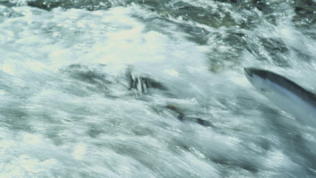 cu rushing water, sockeye salmon swim upstream or are washed downstream, mcneil river game range, alaska, 2011 - salmon stock videos & royalty-free footage