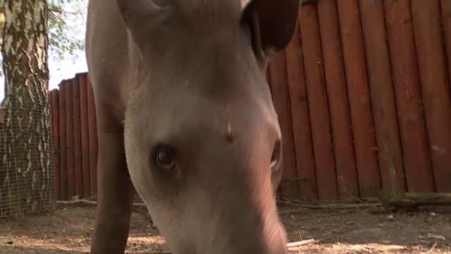 'cleopatra' the tapir predicts england victory ahead of panama match russia nizhny novgorod nizhny novgorod zoo ext various of tapir 'cleopatra' in... - cleopatra stock videos & royalty-free footage