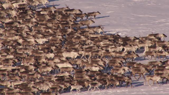 vídeos y material grabado en eventos de stock de russia : siberean reindeers - grupo de animales