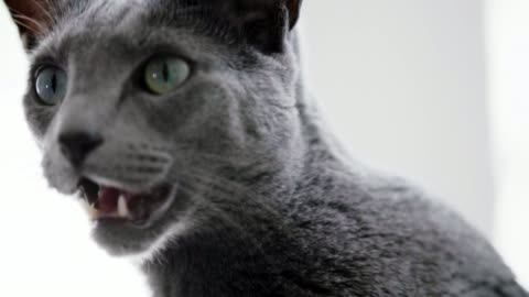 russian blue cat - grey colour stock videos & royalty-free footage