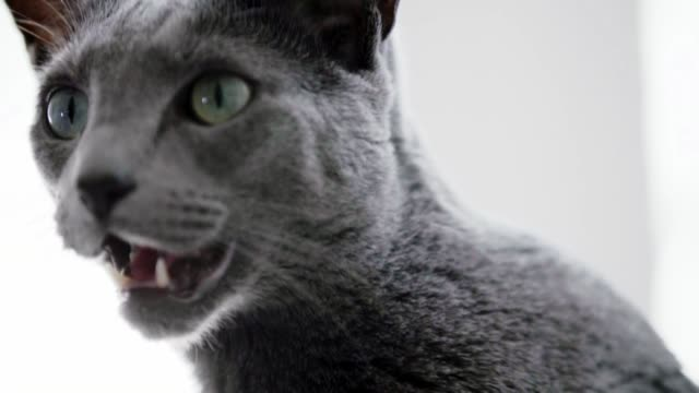 russian blue cat - blinds stock videos & royalty-free footage