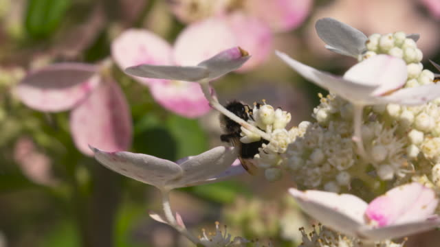 rusty-patched bumble bee foraging & take off - foraging stock videos and b-roll footage