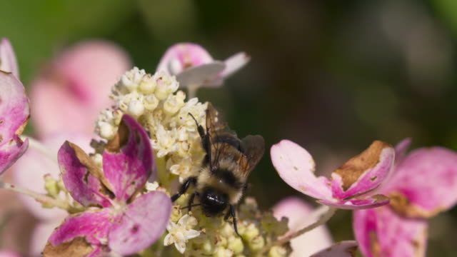 Rusty-patched Bumble Bee Takes Off from Flower
